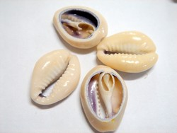 shell - natural - cowrie shell - split x 1kg bag